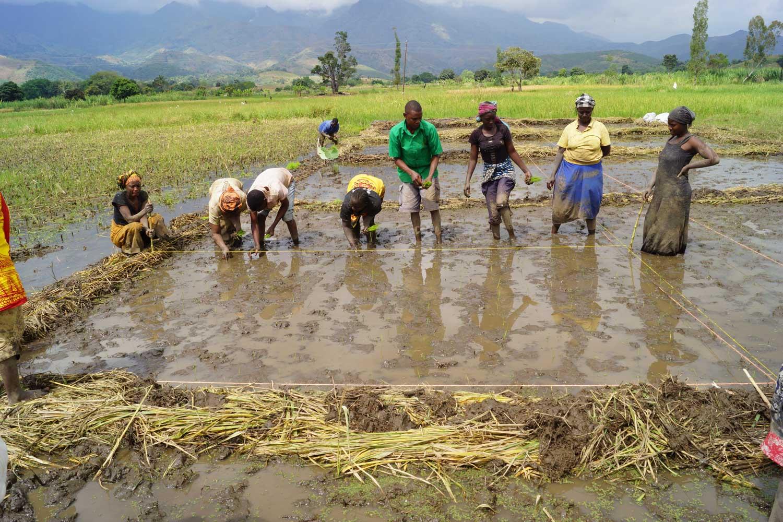 Tansania-reisanbau-web